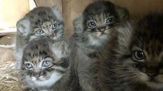 5-week old Pallas Cat kittens at UK's Wildlife Heritage Foundation