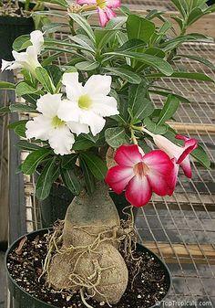 Impossível negar que as Rosas do Deserto se tornaram uma das espécies de plantas mais procuradas nos últimos tempos. A beleza, a forma, ...