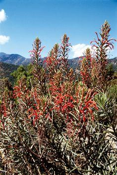 Lobelia excelsa, in the interior matorral. Photograph RGT