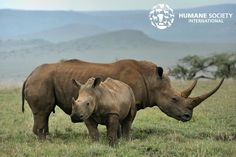 URGENT: The world's biggest rhino farmer is attempting to sell half a ton of rhino horn in an online auction in South Africa this week. The auction threatens to increase demand in Asian countries and thereby increase poaching. Click on the #linkinbio to urge the South African government not to issue permits to gullible buyers bidding for cruelty now!