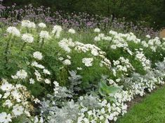 white cosmos, petunias, dusty miller, cleome: it's possible to have a full, lush garden with annuals from seed Garden Shrubs, Lush Garden, Dream Garden, Petunias, Back Gardens, Outdoor Gardens, Landscape Design, Garden Design, White Cosmo