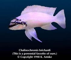 armkes.com - fish pages - Chalinochromis brichardi