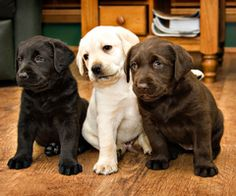 labs - the only choice in choosing a dog is which color.