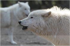 Tanja Askani - wolf expert, photographer and author
