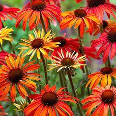 June / July / August / September -  Echinacea Hot Summer