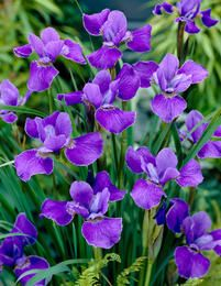 Siberian Iris Silver Edge, Iris sibirica - Spring Perennials from American Meadows Garden Oasis, Summer Garden, Spring Summer, Spring Perennials, American Meadows, Shades Of Violet, Buy Seeds, Wildflower Seeds, Bearded Iris