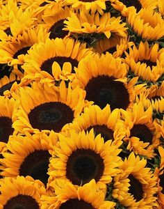 Sunflower Display by Jesse Millette - Photo 125837719 - 500px
