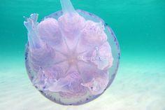 Leggi tutto su -> http://www.imascubadiver.com/it/236-Blog/38-post-Le%20meduse:%20antichi%20e%20straordinari%20animali%20facenti%20parte%20del%20plancton.html  #biologiamarina #biologia #subacquea #scubadiving #diving #lauraroca #immersioni #fotosub #fotografiasubacquea