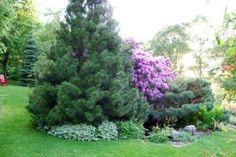 Создаем дизайн сада из хвойников: сосна. Часть 1. | Супер сад
