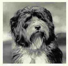 Tibetan Terriers - Bing Images  What Truffles will look like when I grow out her hair.