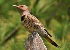 The Northern Flicker is a large, brown woodpeckers with handsome black-scalloped plumage.