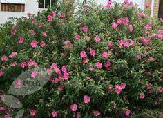 Cistus purpureus, An evergreen rockrose shrub that flowers throughout summmer