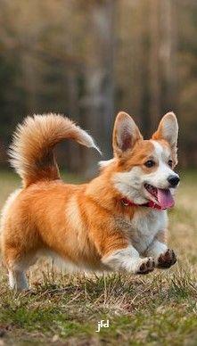 Cute Corgi, Border Collie, Welsh, Dog Lovers, Best Friends, Puppies, Mom, Board, Happy