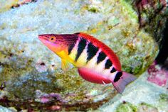 Approximately one-quarter of all fishes swimming in sea waters of Easter Island are endemic, found nowhere else in the world. Pseudolabrus semifasciatus is an endemic wrasse that lives at depths of 30 metres or more. Bright colouration with bars and lines breaks its profile to confuse hungry predators. Photograph: Luiz Rocha/California Academy of Sciences