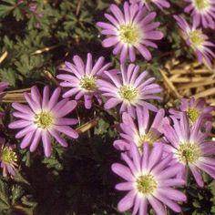 Anémone blanda Pink Star