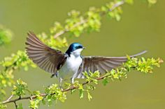 digitalmarbles posted a photo:  This Tree Swallow was amoung hundreds of swallows flying around at the George C. Reifel Migratory Bird Sanctuary Delta BC Canada