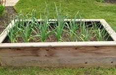 Growing Garlic: How To Plant And Grow Garlic In Your Garden - Growing garlic in the garden is a great thing for your kitchen garden. Fresh garlic is a great seasoning. Learn how to plant and grow garlic in this article so you can have the herb whenever you need it.