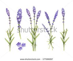 Lavender flowers collection. Watercolor illustrations - stock photo