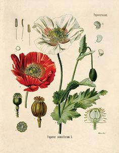 Botanische Papaver Somniferum Schlafmohn Print. Pädagogische Chart Diagramm Poster von Kohlers botanischen. Blumengarten Rosen - CP246