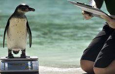 Wielka Brytania: ważenie w londyńskim zoo - Wiadomości Zoo, Penguins, Animals, Animales, Animaux, Penguin, Animal, Animais