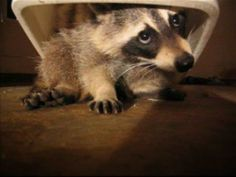 raccoon willie