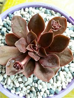 Echeveria rosularis