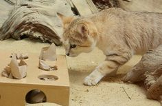 New Sand Cats at Smithsonian Zoo