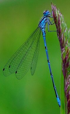 I love dragonflies and damselflies. You can tell the difference when they rest on a plant. The dragonfly will keep his wings open, while the damsel fly closes hers against her back. I also think the damsel fly looks more delicate! Dragonfly Photos, Dragonfly Art, Beautiful Bugs, Beautiful Butterflies, Beautiful Creatures, Animals Beautiful, Horse Caballo, Gossamer Wings, A Bug's Life