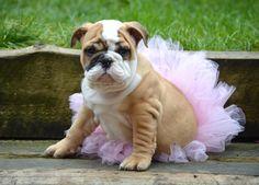#Bulldog princess
