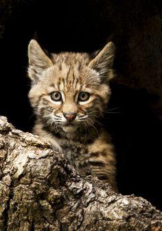 Baby Bob-kitty