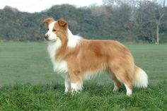 Australian red border collie I think Samson will look something like this when he is older