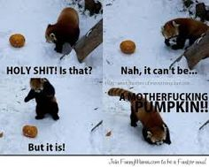 funny red panda - Google Search