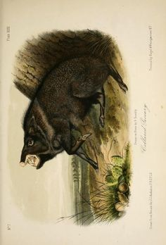 From Audubon Quadrupeds of North America 1851