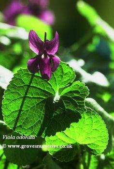 Viola odorata Violet.  Vibrant violet purple sweetly scented (our native sweet violet).