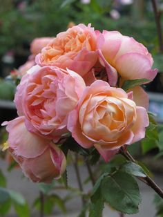 'Lady Emma Hamilton' (2005) David Austin rose | The Teddington Gardener
