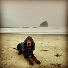 black and tan coonhound enjoying a day at the beach