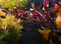 Aponogeton crispus  red