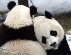 Panda Panda #Panda
