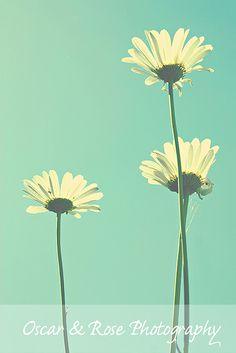 Daisies greeting the sun