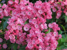 Kalmia latifolia 'Little Linda' - medium pink Mountain Laurel, evergreen shrub