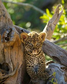 Happy Animals, Animals And Pets, Funny Animals, Cute Animals, Big Cats, Cats And Kittens, Big Cat Family, Baby Leopard, Lovely Creatures