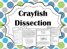This lab is a great introduction to some of the basics of animal anatomy and physiology.  Students will learn a great deal about the behavior and structures of a crayfish, all packaged into a laboratory procedure that can be completed in about one hour.