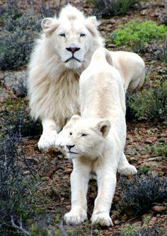White lions at Sanbona Wildlife Reserve in the heart of South Africa's Western Cape