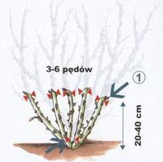 Cięcie krzewów róż pielęgnacja róż związana z cięciem Cięcie krzewów róż, pielęgnacja róż – porady o różach Diy And Crafts, Rose, Garden, Pink, Garten, Lawn And Garden, Gardens, Roses, Gardening