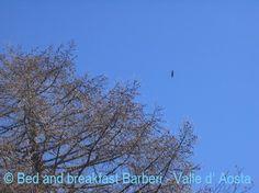 poiana buzzard #aostavalley #alps #vacation #travel