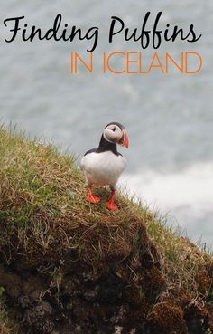 Finding puffins in Iceland -- see thousands of puffins with a puffin boat tour and get up close at the Dyrhaloey arch in South Iceland.