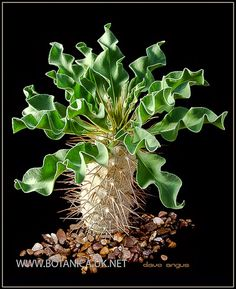 Amazing Unusual Plants To Grow In Your Garden Weird Plants, Unusual Plants, Rare Plants, Exotic Plants, Cool Plants, Succulents In Containers, Cacti And Succulents, Planting Succulents, Planting Flowers