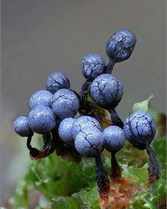 Cribraria argillacea a slime mold with special color …. size ca … - Slime Mushroom Art, Mushroom Fungi, Wild Mushrooms, Stuffed Mushrooms, Alien Plants, Mushroom Pictures, Slime Mould, Plant Fungus, Exotic Plants