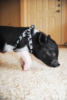 My next pet is a micro pig named Sir Francis Bacon :)