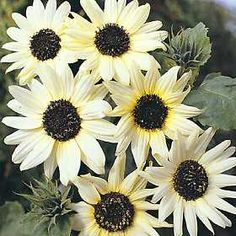 benih/bibit/seeds Italian White Sunflower Helianthus debilis ,bibit bunga matahari italian white unik, beautiful, rare,